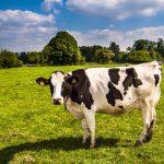 グラスフェッドの牛